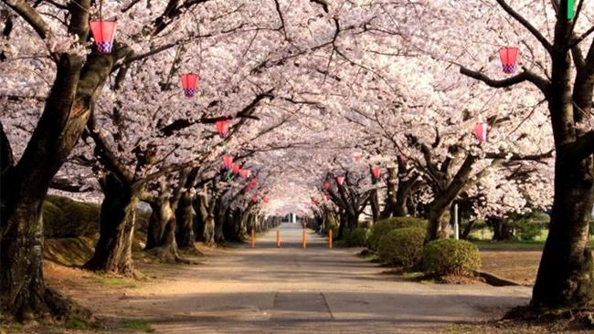 Sakura at Ueno Park # 02