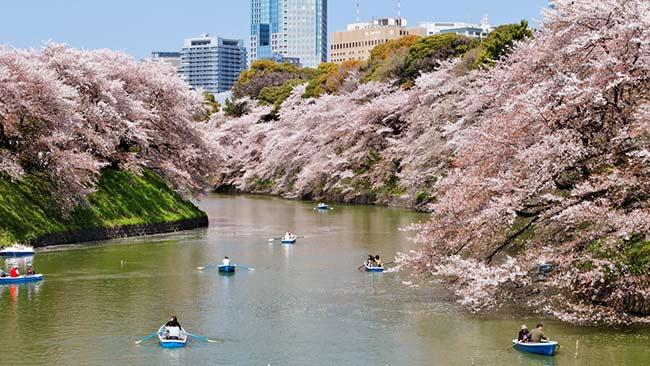 Sakura at Chidorigafuchi Park # 01