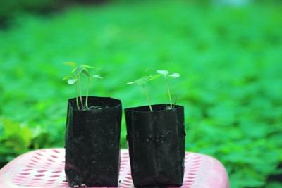 ต้นกล้ามะละกอฮอลแลนด์พันธุ์ดี