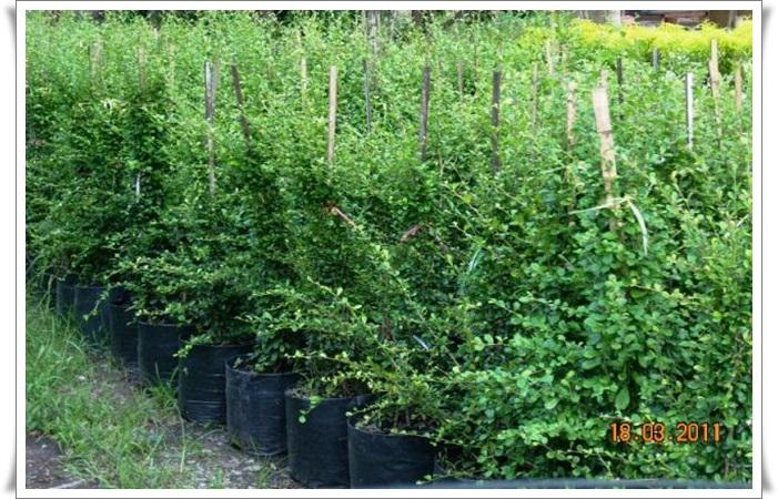 รั้วต้นชาดัด