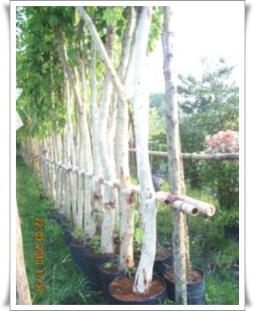 รั้วต้นราชพฤกษ์