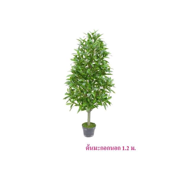 ต้นมะกอกนอก 1.2 ม.