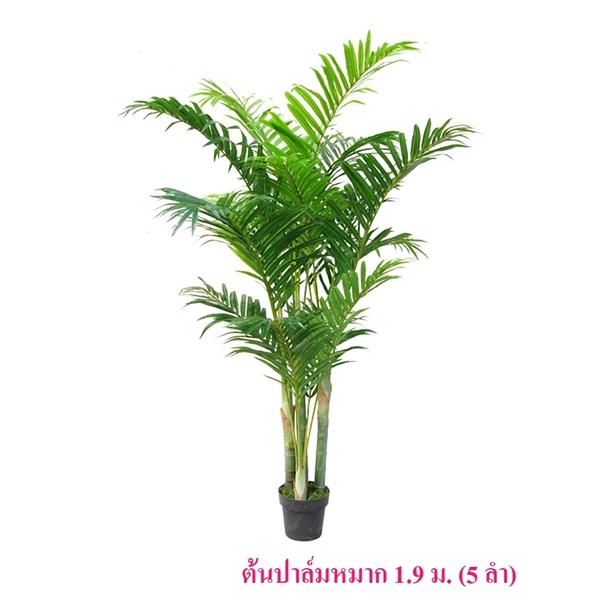 ต้นปาล์มหมาก 1.9 ม.