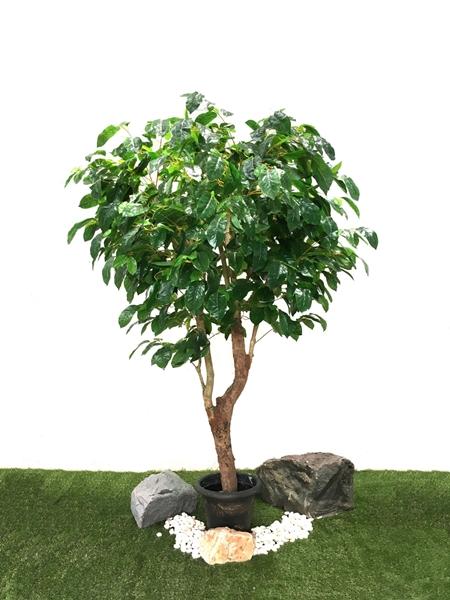ต้นโกงกาง 2 เมตร