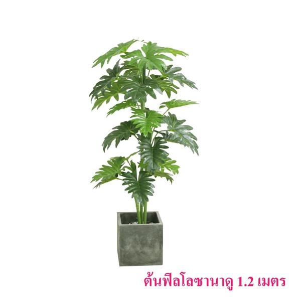 ต้นฟิลโลซานาดู 1.2 เมตร