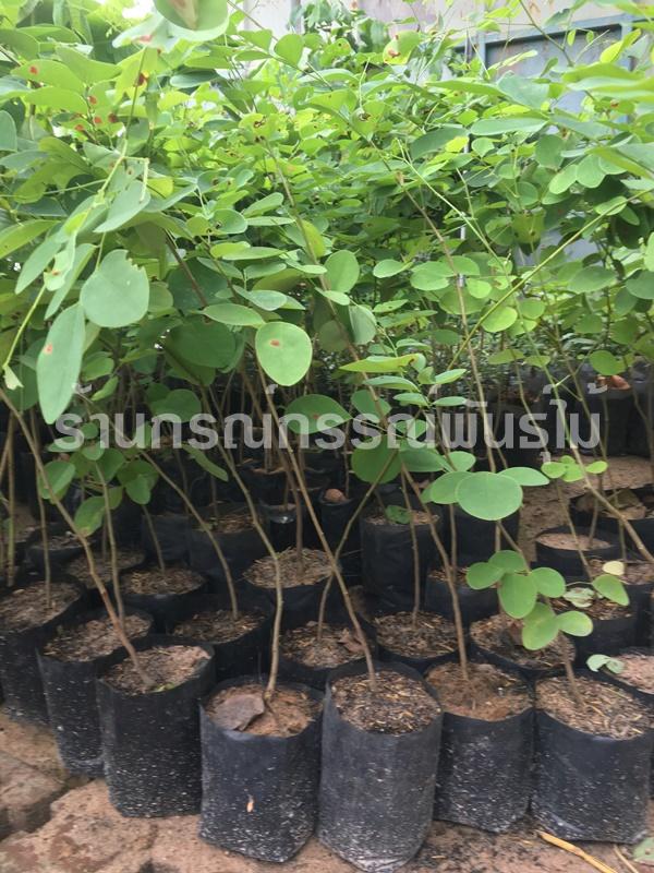 กล้าพันธุ์ต้นพยุงไทย