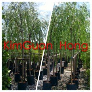 ต้นหลิวจีน