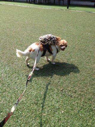 Bangkok dog shirt harness