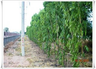 รั้วต้นไทรเกาหลี