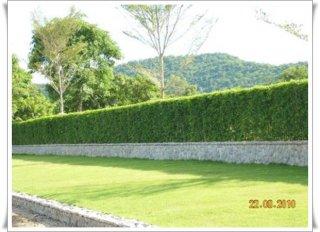 รั้วต้นไทรอินโด