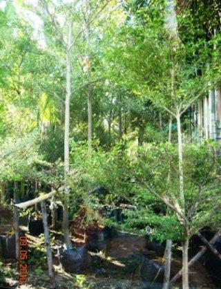 รั้วต้นหูกระจง