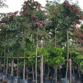ต้นอินทนิล (ลังกาวี)
