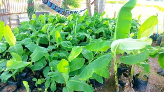 กล้วยหอมทอง พืชเศรษฐกิจ