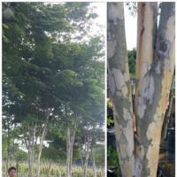 ต้น Caesalpinia Ferrea