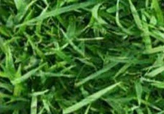 หญ้านวลน้อย