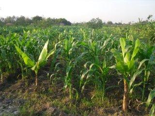 กล้วยหอมทองเกษตรอินทรีย์