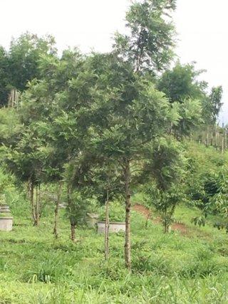 ต้นซิลเวอร์โอ๊ค