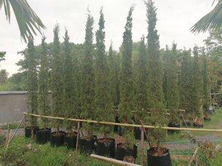 ต้นสนมังกร