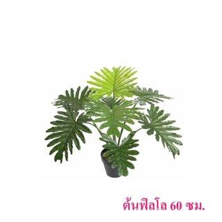 ต้นฟิลโล 60 ซม.
