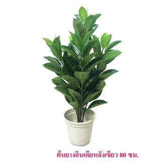 ต้นยางอินเดียวหลังเขียว 80 ซม.