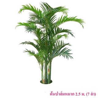 ต้นปาล์มหมาก 2.5 ม.