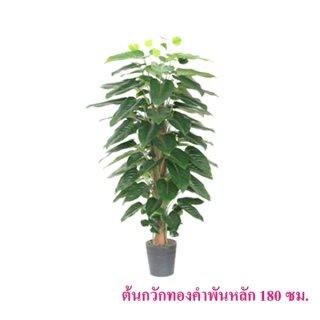 ต้นกวักทองคำพันหลัก 180 ซม.