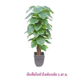 ต้นฟิลโลหัวใจพันหลัก 1.45 ม.
