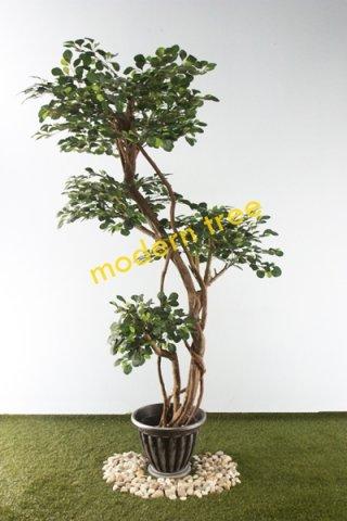ต้นไทรใบกลม 4 หัว สูง 2 เมตร