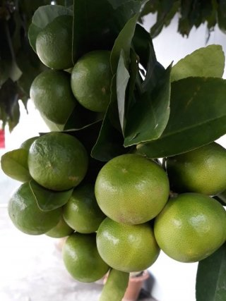 Thai Lime Grower