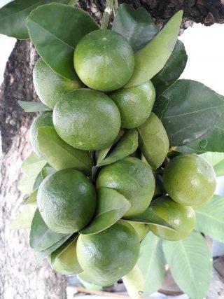 Thai Lime Distributor
