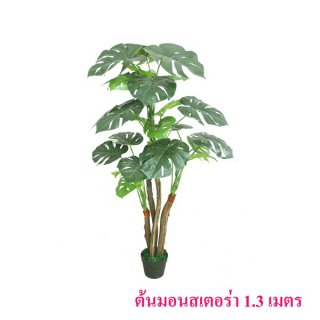 ต้นมอนสเตอร่า 1.3 เมตร