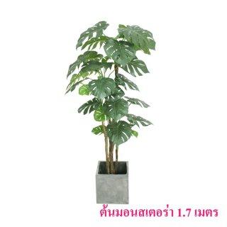 ต้นมอนสเตอร่า 1.7 เมตร