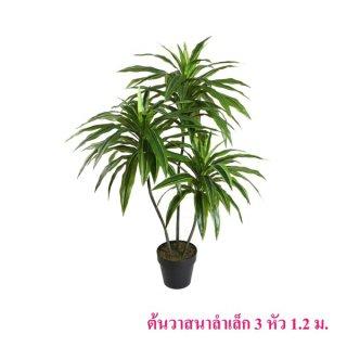 ต้นวาสนาลำเล็ก 3 หัว 1.2 เมตร