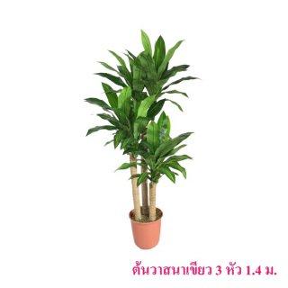 ต้นวาสนาเขียว 3 หัว 1.4 เมตร