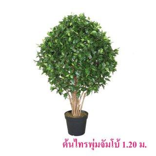 ต้นไทรพุ่มจัมโบ้ 1.2 เมตร