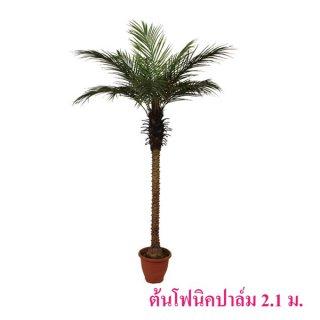 ต้นโฟนิคปาล์ม 2.1 เมตร