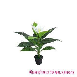 ต้นคาร่าขาว 70 ซม. (3 ดอก)