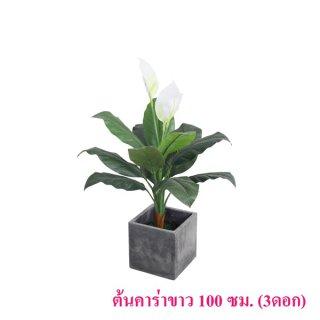 ต้นคาร่าขาว 100 ซม. (3 ดอก)