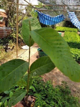 จำหน่ายพันธุ์ไม้ยืนต้น ชลบุรี