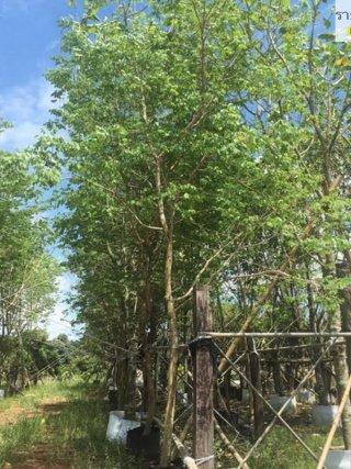 จำหน่ายต้นไม้มงคล จำนวนมาก