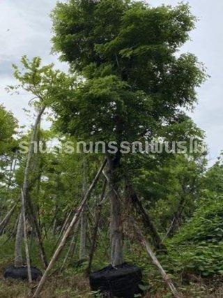 จำหน่ายต้นไม้มงคล