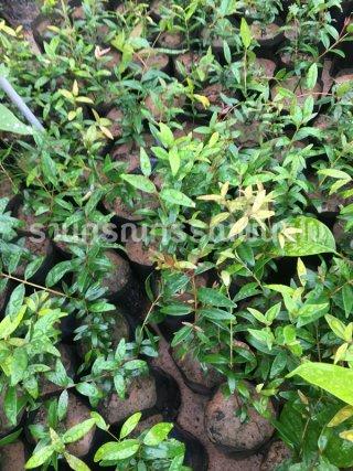 กล้าพันธุ์ต้นผักเม็ก (เสม็ดแดง)