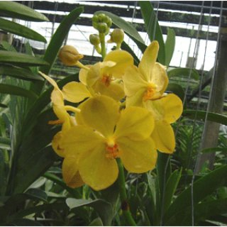 Cheap Orchid Thailand