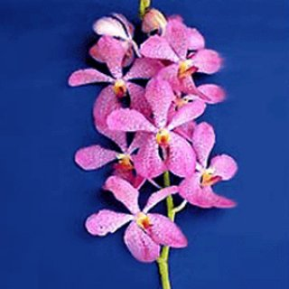 Orchids Wholesale Thailand