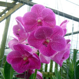 Cheap Orchid Thailand